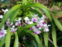 Vanda hybrid, orchid flowers and leaves, McBryde Garden, Koloa, Kauai, Hawaii, National Tropical Botanical Garden