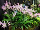very large Laelia anceps plant in bloom, orchid species flowers and leaves, Pacific Orchid and Garden Exposition 2017, Hall of Flowers, Golden Gate Park, San Francisco, California