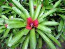 Bromeliads, McBryde Garden, Koloa, Kauai, Hawaii, National Tropical Botanical Garden