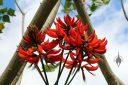 Coral Tree, Erythrina x sykesii, McBryde Garden, Koloa, Kauai, Hawaii, National Tropical Botanical Garden