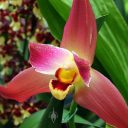 Lysudamuloa Red Jewel 'Sweet Baby', orchid hybrid flower, Pacific Orchid and Garden Exposition 2017, Hall of Flowers, Golden Gate Park, San Francisco, California