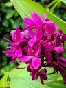 Purple Spathoglottis, Ground Orchid flowers, landscaping plant in Poipu Shopping Village, Kauai, Hawaii