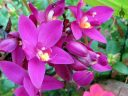 Purple Spathoglottis, Ground Orchid flowers, landscaping plant in Poipu Shopping Village, Kauai, Hawaii