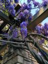 Wisteria vines and flowers, San Francisco Botanical Garden, Strybing Arboretum, Golden Gate Park
