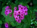 Purple flowers, San Francisco Botanical Garden, Strybing Arboretum, Golden Gate Park