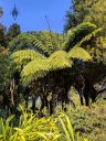 Tree Fern with new growth at top, San Francisco Botanical Garden, Strybing Arboretum, Golden Gate Park