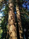 Sequoia sempervirens, Coastal Redwood Tree with double trunk, Redwood Grove in San Francisco Botanical Garden, Strybing Arboretum, Golden Gate Park