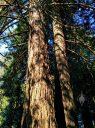 Sequoia sempervirens, Coastal Redwood Tree with double trunk, Redwood Grove in San Francisco Botanical Garden, Strybing Arboretum, Golden Gate Park