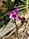 Philippine Ground Orchid, Spathoglottis plicata, flower bud and seedpod, orchid species naturalized in Hawaii, growing wild alongside a stream next to Waimea Canyon Drive, Kauai, Hawaii