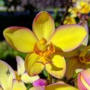 Yellow Spathoglottis, Ground Orchid flower, landscaping plant in shopping center in Kapa'a, Kauai, Hawaii