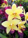 Yellow Spathoglottis, Ground Orchid flowers, landscaping plant in Coconut Marketplace in Kapa'a, Kauai, Hawaii
