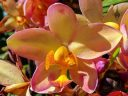 Yellow and pink Spathoglottis, Ground Orchid flower, landscaping plant in Coconut Marketplace in Kapa'a, Kauai, Hawaii