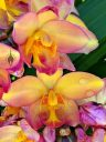 Yellow and pink Spathoglottis with raindrops, Ground Orchid flowers, landscaping plant in Coconut Marketplace in Kapa'a, Kauai, Hawaii