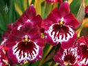 Miltoniopsis flowers, Pansy Orchids, Pacific Orchid Expo 2013, San Francisco, California