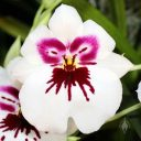 Miltoniopsis flower, Pansy Orchid, Pacific Orchid Expo 2014, San Francisco, California