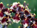Oncidium hybrid flowers, Dancing Lady Orchids, Pacific Orchid Expo 2015, San Francisco, California