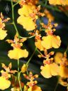 Oncidium flowers, Dancing Lady Orchids, Pacific Orchid Expo 2011, San Francisco, California