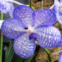 Vanda coerulea v. compacta, orchid species flower, Pacific Orchid Expo 2015, San Francisco, California