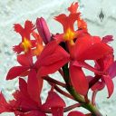 Epidendrum x obrienianum, orchid hybrid flowers, growing outdoors in Pacifica, California
