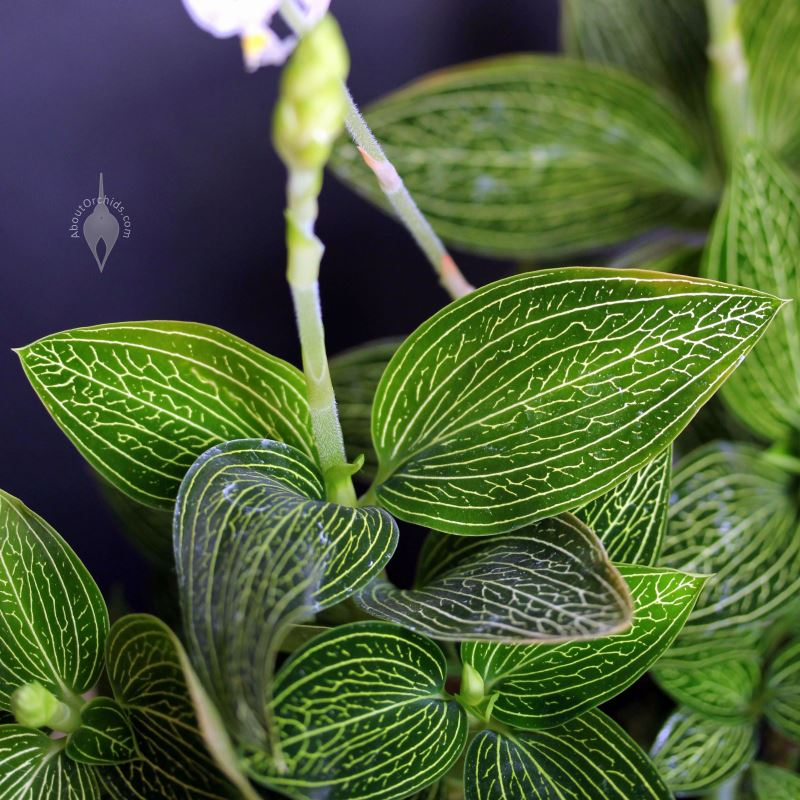 Aboutorchids Blog Archive Jewel Orchids
