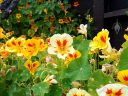 Nasturtium flowers and leaves, Tropaeolum, growing outdoors in Pacifica, California