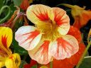 Nasturtium flower, Tropaeolum, growing outdoors in Pacifica, California