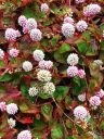 Pink_Clover, Polygonum capitatum, ground cover with small pink flowers and red variegated leaves, growing outdoors in Pacifica, California