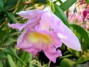 Sobralia flower, large orchid flower, Orchids in the Park 2017, Golden Gate Park, San Francisco, California