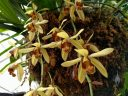 Coelogyne orchid flowers, Aquatic Plants room, Conservatory of Flowers, Golden Gate Park, San Francisco, California