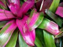 Green and purple bromeliad, colorful leaves, Conservatory of Flowers, Golden Gate Park, San Francisco, California