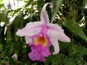 Sobralia orchid flower in Highland Tropics room, Conservatory of Flowers, Golden Gate Park, San Francisco, California