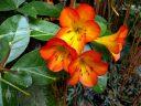 Vireya flowers, Conservatory of Flowers, Golden Gate Park, San Francisco, California