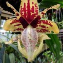 Stanhopea orchid flower, Conservatory of Flowers, Golden Gate Park, San Francisco, California