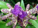 Zygopetalum Advance Australia 'HOF' AM/AOS, orchid hybrid flowers, Zygo, Orchids in the Park 2017, Golden Gate Park, San Francisco, California