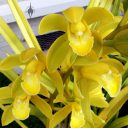 Cymbidium hybrid orchid flowers, growing outdoors in Pacifica, California