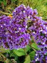 Limonium flowers, growing outdoors in Pacifica, California