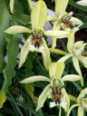 Coelogyne pandurata, orchid species flowers, Conservatory of Flowers, Golden Gate Park, San Francisco, California