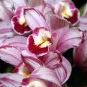 Cymbidium Shogun, orchid hybrid flowers, Pacific Orchid Expo 2011, San Francisco, California