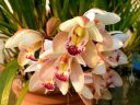 Cymbidium orchid hybrid flowers with water drops, grown outdoors in Pacifica, California