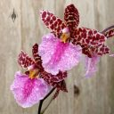Odontoglossum bic-ross, odont, orchid hybrid flowers, aka Rhynchostele bic-ross, grown outdoors in Pacifica, California