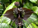 Tacca chantrieri, Bat Flower, large weird tropical flower, Conservatory of Flowers, Golden Gate Park, San Francisco, California