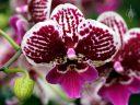 Phalaenopsis flower, Moth Orchid hybrid flower, phal, Orchids in the Park 2017, Golden Gate Park, San Francisco, California