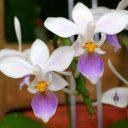 Phalaenopsis equestris var. blue, Moth Orchid species, Phal, Conservatory of Flowers, San Francisco, California