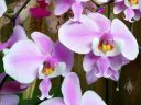 Phalaenopsis schilleriana, Moth Orchid species, Phal, Pacific Orchid Expo 2016, San Francisco, California