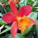 Cattleya hybrid orchid flower, Kawamoto Orchid Nursery, Honolulu, Hawaii