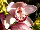 Cymbidium orchid hybrid flower, grown outdoors in Pacifica, California