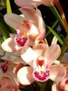 Cymbidium orchid hybrid flowers, grown outdoors in Pacifica, California