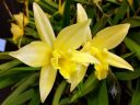 Laelia Canariensis 'Golden Glow'