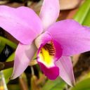 Laelia anceps, orchid species flower, grown outdoors in Pacifica, California