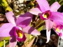 Laelia anceps, orchid species flowers, grown outdoors in Pacifica, California
